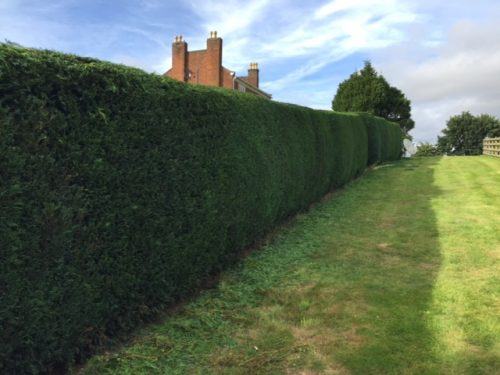 trimmed conifer hedge and neatly mowed grass