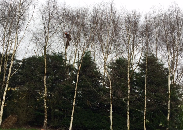 Silver birch and conifer reduction
