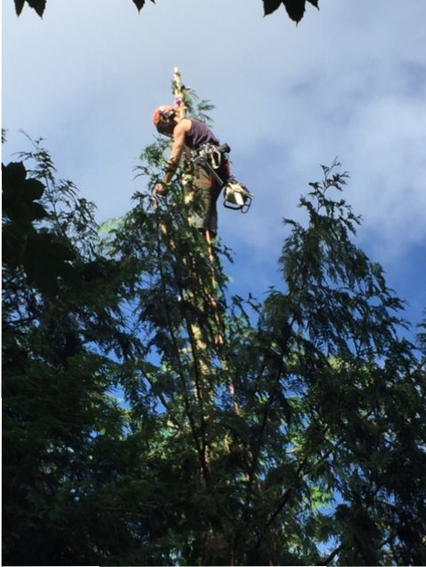 Arboriculture / Tree Surgery: Shropshire